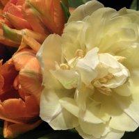Тюльпаны. :: Елена