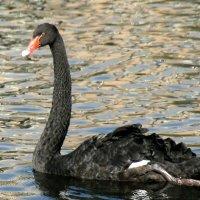 одинокий черный не тюльпан,а лебедь :: Олег Лукьянов