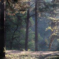 В сосновом лесу :: Юрий Цыплятников