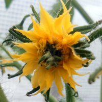 Цветок томата :: Агриппина