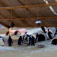 Говорят пингвины... :: Наталья Джикидзе (Берёзина)