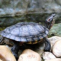 Красноухая черепаха :: Елена Шемякина