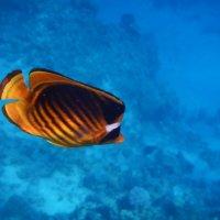 Рыбы Красного моря :: Анатолий Евсеев