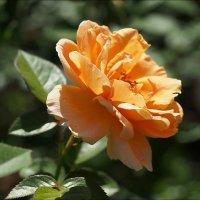 Сияющая красота :: Swetlana V