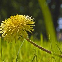 Солнечный цветок. :: Владимир