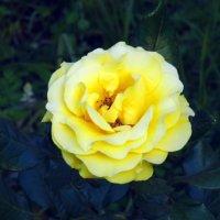 Роза желтая. :: Валерьян