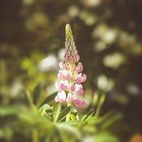 Мурманские цветы :: Иваннович *