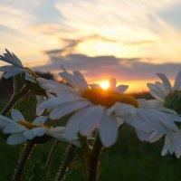 Ромашки в лучах летнего заката. :: Павлова Татьяна Павлова