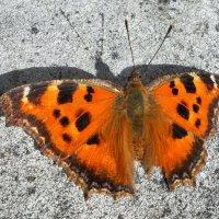 Бабочка и тень! :: Наталья