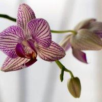 Орхидея :: Елена Ахромеева