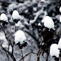 Древовидные пионы. Зима. :: Nikolay Monahov