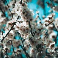Нежное цветение :: Юлия Зайцева