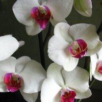 орхидея Фаленопсис Winnipeg :: super-krokus.tur ( Наталья )