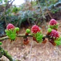 Молодые женские шишки лиственницы :: Natalia Harries