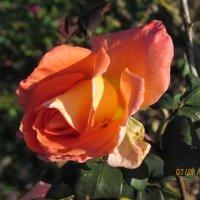 Роза :: Герович Лилия