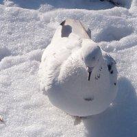 Голубь и снег. :: Наталья