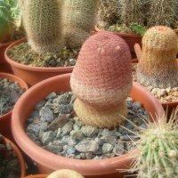 Просто кактус. :: Герович Лилия