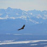 Кавказский орел :: Валентина