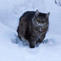 - Чем же я не снежный барс? :: Ирина Приходько