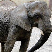 Слон :: Елена Шемякина