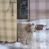 Как на барана на меня глядят... :: Ирина Данилова