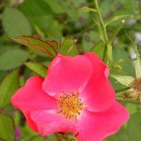 Аленький цветочек. :: Елена