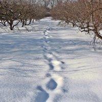 Яблоневый сад. Зима 2013. :: Елена Дёмина