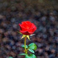 Красная роза. :: Лара ***
