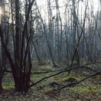 Лес в ноябре :: Ирина Никифорова