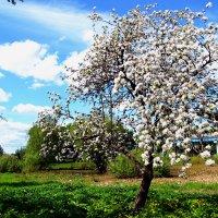 Весна...яблони в цвету :: Сергей F