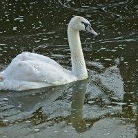 Белый лебедь на пруду... :: Владимир Максимов