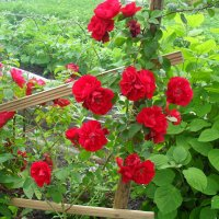 Розы... :: BoxerMak Mak