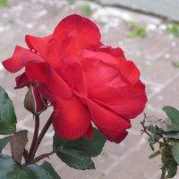 Отцветающая январская роза :: Герович Лилия