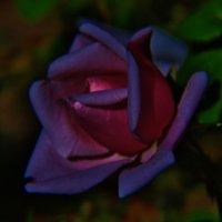 Розовый фонарик у меня в саду :: Svetlana27