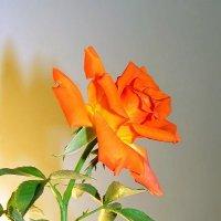 Просто роза :: Юрий Захаров