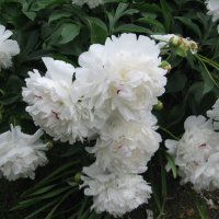 Цветы 2 :: Виктор Шимолин