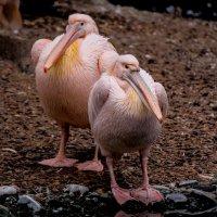 розовые птицы пасмурным днём :: Александр Бритшев
