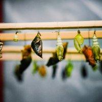 Именно в таких коконах завёрнуты самые прекрасные создания на Земле - бабочки! :: Елизавета Димова
