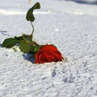 Красная на белом :: Андрей Щукин