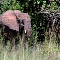 Розовый слон :: Евгений Печенин