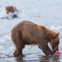 Кругом медведи :: Денис Будьков