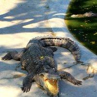 Вдруг навстречу мой хороший, мой любимый крокодил,,, :: Vladimir 070549