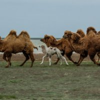 Белый верблюжонок :: Андрей Вигерчук