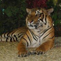 Царь зверей в неволе,,,(Вспоминая джунгли и вольную жизнь) :: Vladimir 070549