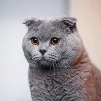 Пепельный кот :: Руслан