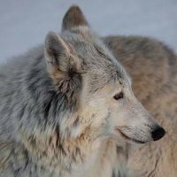 Полярный волк :: Александр Сашин