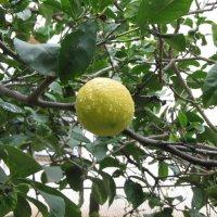 Лимон под дождем :: Герович Лилия