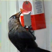 за продовольствием :: linnud