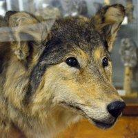 Настоящий волк с добрыми глазами :: Viktor Pjankov