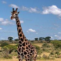 Самое длинношеее животное :: Евгений Печенин